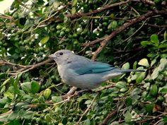 Sanhaçu-cinzento --{ Birds }--