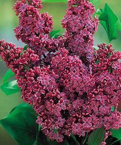 President Lilac Bareroot by Spring Hill Nursery Lilac Tree, Lilac Flowers, Blue Roses, Beautiful Flowers, Lilac Bouquet, Full Sun Perennials, Flowers Perennials, Planting Flowers, Shrubs For Borders