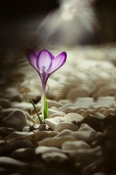 Beautiful white light shines glowing  thru delicate Purple crocus as it bursts thru rocks. DianaDeeOsborne/flowers-beyond-expected. Photo credit: David Pen, http://500px.c49?from=popular
