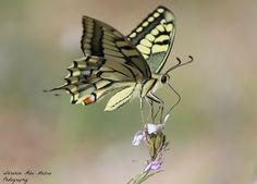 Photo Butterfly by Ibrahim  Abu Mazna on 500px