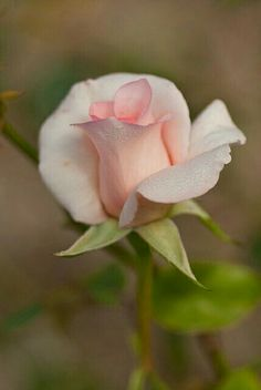 Роза...Rose...