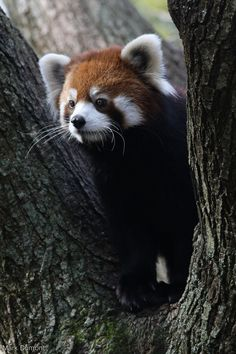 Red Panda by Mark Dumont