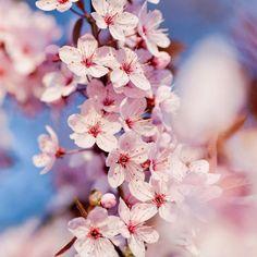 Sakura - festival