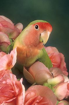 Peachface parrot in peachy roses
