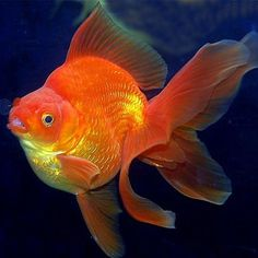 """Red Ryukin  Makes me miss """"pumpkin"""" that my friend got me for my birthday. He was an awesome fish. Cried like a baby when he passed away."""