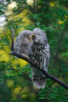 Ural Owls ~ mother & baby owlet - so sweet! Beautiful Owl, Animals Beautiful, Pretty Birds, Love Birds, Animals And Pets, Cute Animals, Funny Animals, Owl Bird, Cutest Animals