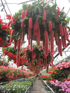 When visiting a garden center/plant nursery the first thing I do is grab a hold of one of these soft fuzzy plants. Love chenille plants. -AK