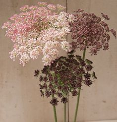 "Attractive 3 1/2-5"" lacy umbels atop strong, sturdy, upright stems. Flowers in shades of dark purple, pink, or white. Highly productive with 7-15 stems per plant. Long lasting in bouquets. Also known as Queen Anne's lace, ornamental carrot, and wild carrot. Ht. 36-48"""