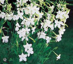 Nicotiana alata has a wonderful fragrance
