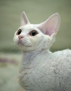 Devon Rex cats have curly hypoallergenic non-shedding fur.  According to the website they behave like dogs.