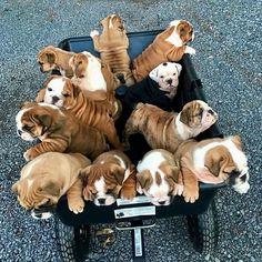 Bulldogs !!!!