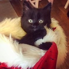 Merry Christmas to you all Cute Kittens, Black Kittens, Merry Christmas, Photo And Video, Cats, Animals, Instagram, Merry Little Christmas, Gatos
