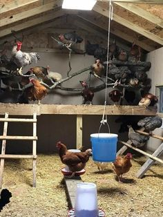 Summary: At the onset of building chicken coops, one must lay out chicken coop blueprints. The chicken coop designs should cater to all the aspects vital for chicken farming. Bad Chicken, Chicken Roost, Chicken Pen, Chicken Coup, Chicken Life, Chicken Houses, Chicken Swing, Clean Chicken, Chicken Coop Designs