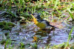Foto mariquita (Setophaga pitiayumi) por Ivan Angelo | Wiki Aves - A Enciclopédia das Aves do Brasil