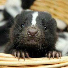 """What the heck? I didn't know skunks were this cute!    Ok, got sidetracked... Is it weird that I'm curious to know what they're """"stink"""" smells like? I've always wondered how bad it was. I'm sure I would immediately regret my curiosity, but for now, it's on my brain."""