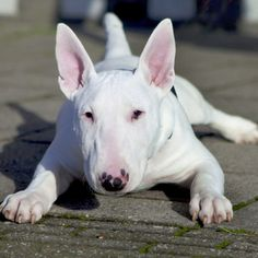 Stunning Bull Terrier Puppies for Sale Bull Terrier Puppy, Terrier Puppies, Dogs And Puppies, Doggies, Chihuahua Dogs, Terrier Mix, Best Dog Breeds, Best Dogs, I Love Dogs