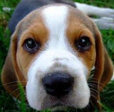 How can anyone resist this face?!? #beagle