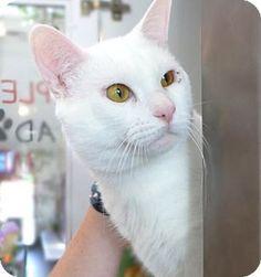 Westampton, NJ - Domestic Shorthair. Meet Dave 34969381, a cat for adoption. http://www.adoptapet.com/pet/18095910-westampton-new-jersey-cat