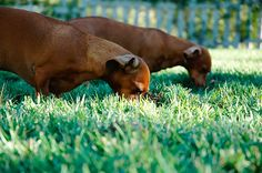Dogs Eating Grass is by all accounts normal and isn't as odd as eating rehearses that little dogs regularly take part. We shall discuss Why Do Dogs Eat Grass. Tripe For Dogs, Dogs Eating Grass, Can Dogs Eat, Dachshund Love, Daschund, Wild Dogs, Dog Feeding, Outdoor Dog, Homemade Dog