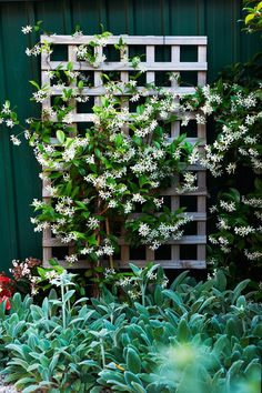 Star jasmine is the best choice for shady fences (Trachelospermum jasminoides). Other shade lovers are climbing hydrangea (Hydrangea petiolaris), creeping fig and ivy.
