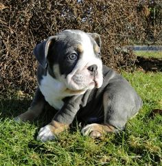 Availabull Bulldog Puppies For Sale
