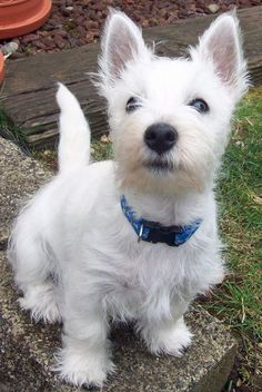 Burleigh the West Highland Terrier Pictures  = OH MY HEART!!!! WHATTA CUTIEPIE!