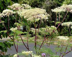 """Umbellifers: Selinum wallichianum """"wallich milk parsley"""" (ferny foliage, creamy twisted flowers)"""