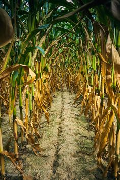 corn alley... by grandpavlad #nature #mothernature #travel #traveling #vacation #visiting #trip #holiday #tourism #tourist #photooftheday #amazing #picoftheday