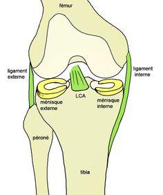 Anatomie du genou, ligament croisé antérieur, ligament interne et externe, ménisque : schéma du genou.