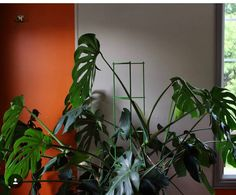 13 tips to care for your Monstera and make it grow. You will find the ideal way of taking care for your Monstera: light, temperature, humidity, water. Big Plants, Growing Plants, Indoor Plants, Plante Monstera, Monstera Deliciosa, Bamboo Trellis, Metal Trellis, Faux Philodendron, Gardens