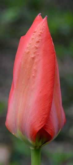Ever wonder why tulips stop blooming after a couple years? Here's why and how to fix the problem.
