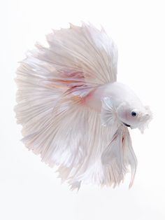 Siamese fighting fish, Betta splendens by visarute angkatavanich # 500px.com/bluehand