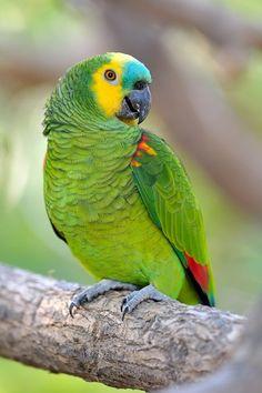 A #BluefrontedAmazon Parrot