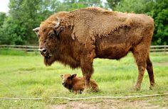 Un jeune bison d'Europe au zoo Pilsen en République tchèque.