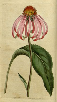 Plate from The Botanical Magazine, Volume 1 (18th century). Author William Curtis (1746–1799)