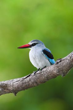 Woodland Kingfisher in the Kruger