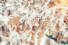 """Download the royalty-free photo """"Branch oak tree with dry leaves in snow. Winter background. Oak tree branches covered with hoarfrost."""" created by Victoria Kondysenko at the lowest price on Fotolia.com. Browse our cheap image bank online to find the perfect stock photo for your marketing projects!"""