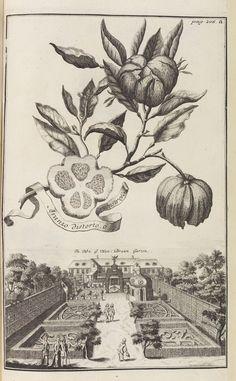 Volckamer, J. C. Nürnbergische Hesperides. 1 Tl. 1708