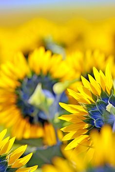 sunflower details by laurentiu iordache on 500px