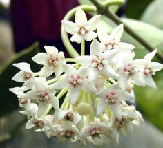 flor de cera australiana