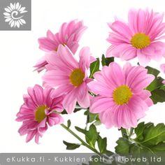 Chrysanthemum x grandiflorum, Krysanteemi