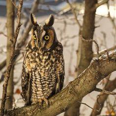 #longeared #owl #olympus #omdem1
