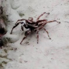 Papa-moscas: minha aranha favorita. :)