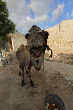 낙타의 점심