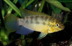 killies arabian killifish aphanius dispar dispar aphanius dispar ...