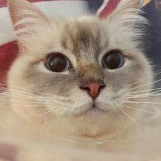Poppy is home at last! #popcorn #poppylove #birma #birman #breeder #catsofinstagram #chokladochvanilj #pinkalicious #welovecats #we_love_cats