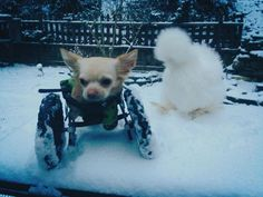 <b>I repeat: TWO-LEGGED CHIHUAHUA AND FLUFFY CHICKEN.</b>