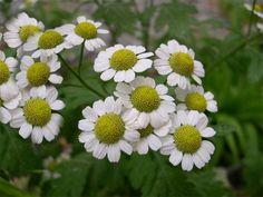 Natural Antibiotics, Plants, Natural Cosmetics, Flowers