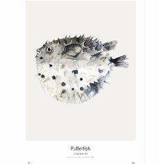 The medium Pufferfish (Tetraodontidae) Print from the Ocean series of unframed art prints of watercolours by artist M. Koster and supplied by My Deer Art of the Netherlands. -Limited edition of 300 -Signed by artist with handwritten numbering -The art print is sold unframed -Shipped in a cardboard tube -Fits perfectly into Ikea's RIBBA frame