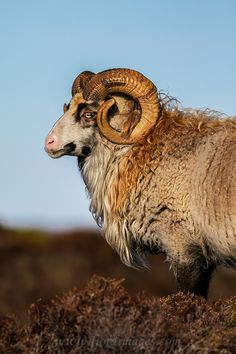 Norwegian villsau (wild sheep) or gammel norsk sau, are an ancient, small and…